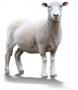 Granule pre ovce